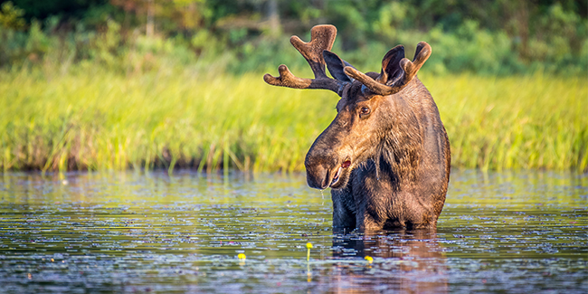 The largest of all deer species, moose can stand 6 feet tall from hoof to shoulder, with massive antlers that span up to 6 feet wide.