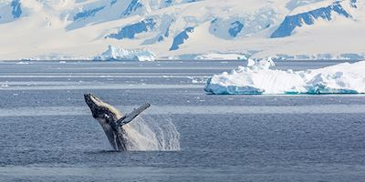 Whale breach in Antarctica
