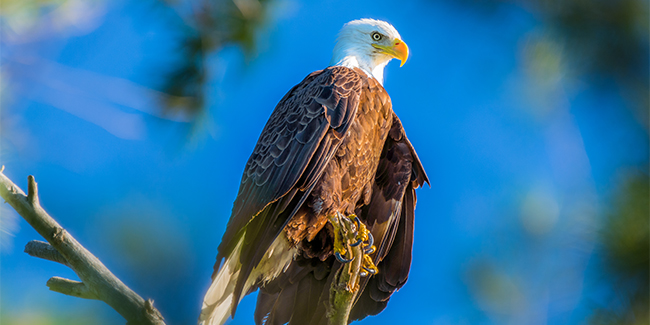 Bald Eagles: with vision far more acute than a human's, these raptors—named for their white heads and necks—feast mostly on fish and carrion.
