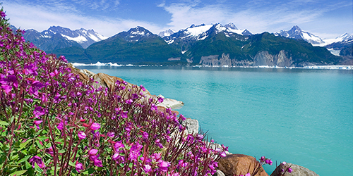 Purple flowers along a bay in Alaska, with snow-capped mountains in the distance.