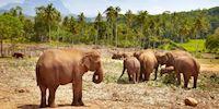 Pinnawala Elephant Orphanage in Colombo, Sri Lanka