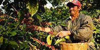 Dipilto Coffee Farmer gathering beans
