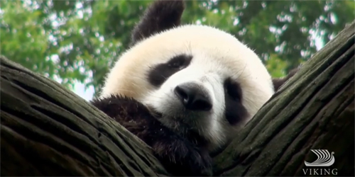 A giant panda sitting in a tree