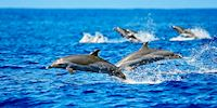 A pod of dolphins jump and play in the water